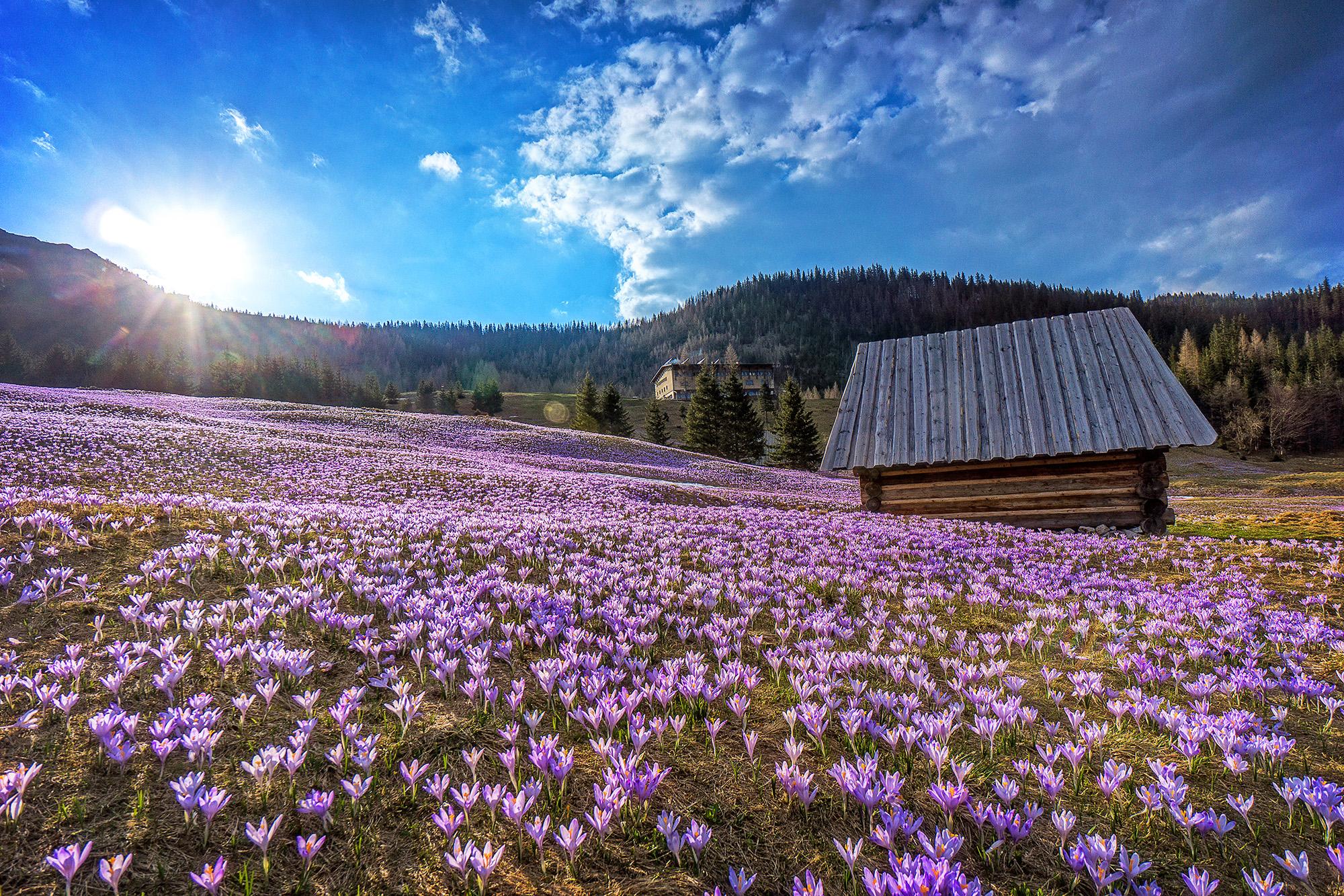 kalatowki, krokusy, wiosna, kwiaty, kasrpwy wierch, zawracik kasprowy, szalas